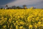 Photo Yellow Canola Flowers Denmark