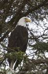 Perched Bald Eagle