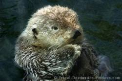 Aquarium Sea Otter