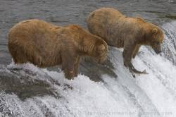 Brooks Falls Grizzly Bears