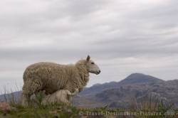 Picture Of Loch Torridon Sheep