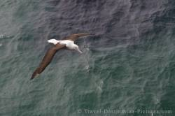 Northern Royal Albatross Otago Peninsula NZ