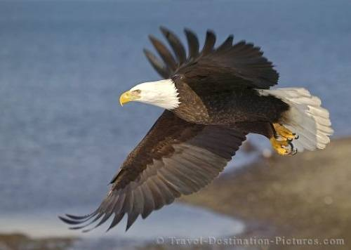 Bald Eagle In Flight Homer Alaska