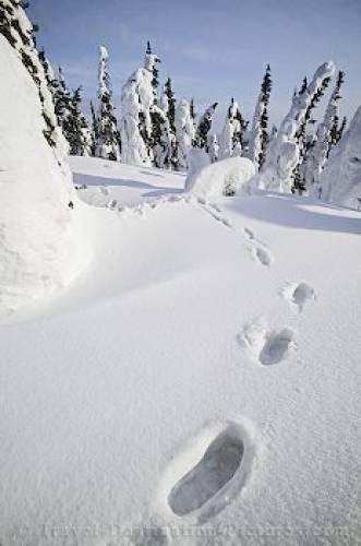 Footprints In The Snow James Dalton Alaska