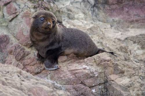 New Zealand Fur Seal Pup North Island NZ