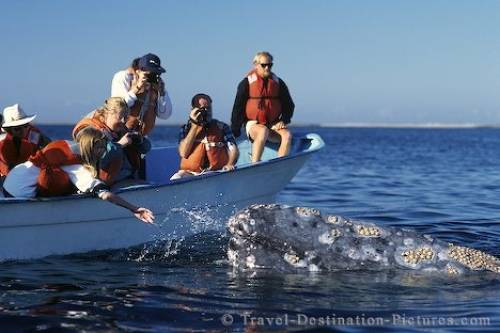 Gray Whale Baja California