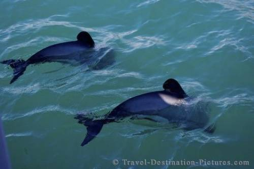 Hectors Dolphins Akaroa Harbour Canterbury NZ