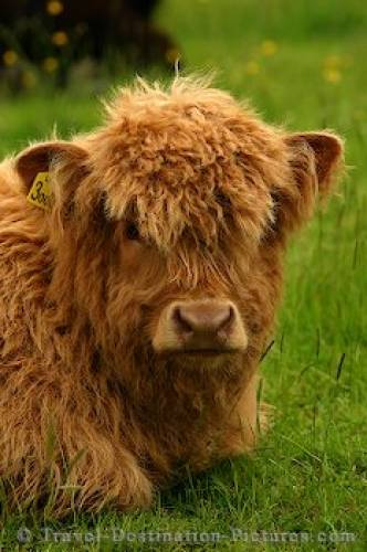 Highland Calf Scotland