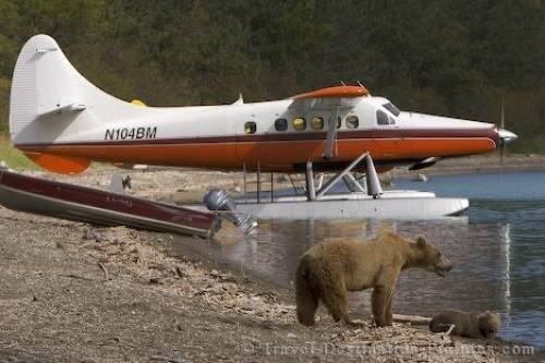 Katmai Grizzly Bears Alaska