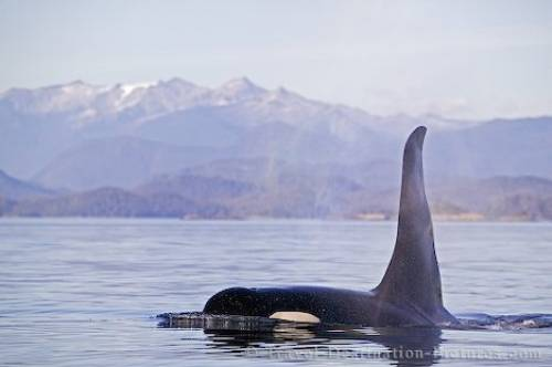 Killer Whale Johnstone Strait British Columbia Canada