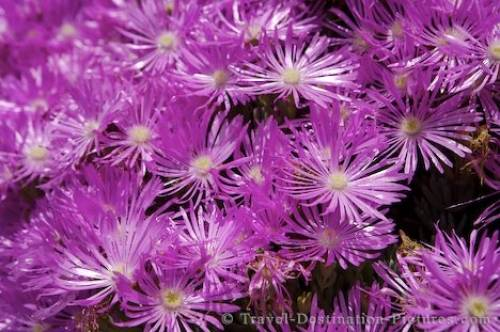 Livingstone Daisy Flowers