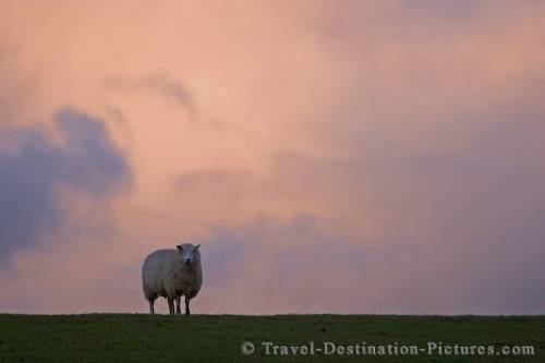 Lone Sheep Germany