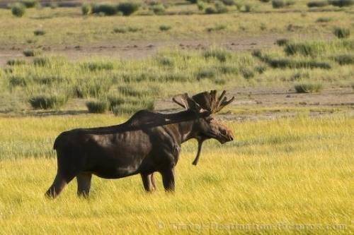 Picture Of A Moose Stag