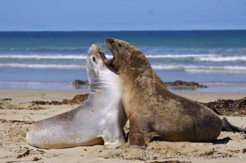 Picture Of New Zealand Sea Lions