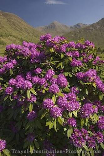 Purple Rhododendron Flowers Glen Etive Scotland