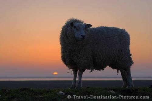 Sunset Sheep North Sea Germany